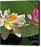 Lotus Pink -- Lotus White And Gold Canvas Print