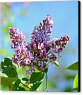 Love My Lilacs Canvas Print