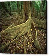 Lowland Tropical Rainforest Canvas Print