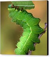 Luna Moth Caterpillar Eating Canvas Print