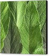 M7500790 - Sage Leaves Canvas Print