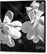 Magnolia Flowers Canvas Print by Elena Elisseeva