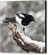 Magpie Out On A Branch Canvas Print by Tim Grams