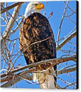 Majestic Bald Eagle Canvas Print by Greg Norrell