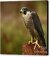 Majestic Peregrine Falcon In The Rain Canvas Print by Inspired Nature Photography Fine Art Photography