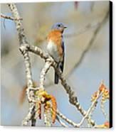 Male Bluebird In Budding Tree Canvas Print