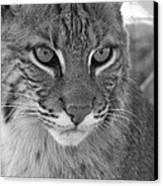 Male Bobcat - Black And White Canvas Print by Jennifer  King