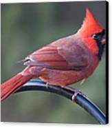 Male Cardinal Canvas Print by John Kunze