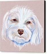 Maltipoo With An Attitude Canvas Print