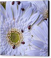 Many Ladybugs On White Daisy Canvas Print by Garry Gay