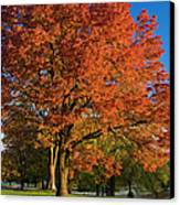 Maple Trees Canvas Print