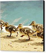 March Of The Ducklings Canvas Print