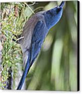 Mexican Jay Drinking - Phone Case Design Canvas Print by Gregory Scott