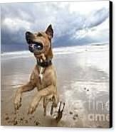 Mid-air Beach Dog Canvas Print by Eldad Carin