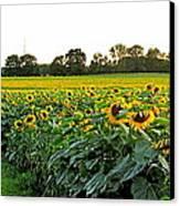 Millions Of Sunflowers Canvas Print by Danielle  Parent