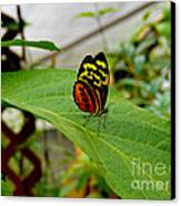 Mindo Butterfly Poses Canvas Print