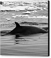 Minke Whale With Marked Notched Dorsal Fin And Yellow Diatom Marking With Tourist Zodiac Boats In Th Canvas Print by Joe Fox