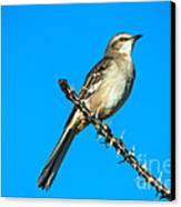 Mockingbird Canvas Print by Robert Bales