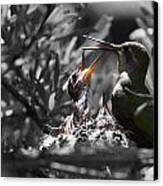Momma Hummingbird Feeding Babies Canvas Print by Old Pueblo Photography