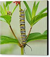 Monarch Caterpillar And Milkweed Canvas Print