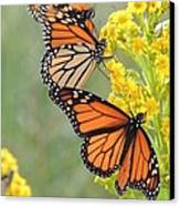 Monarch Gathering Canvas Print by Laurence Van Oliver