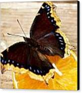 Morning Cloak Butterfly Canvas Print