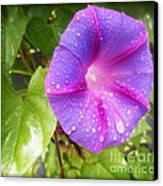 Morning Glory Tears Canvas Print by Eva Thomas