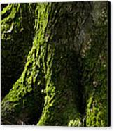 Moss Covered Tree Trunk Canvas Print by Christina Rollo