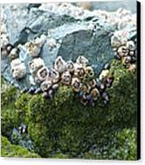 Mossy Barnacles Canvas Print