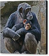 Mother And Child Chimpanzee Canvas Print