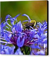 Mountain Cornflower And Bumble Bee Canvas Print by Byron Varvarigos