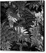 Mountain Ferns 1 Canvas Print by Roger Snyder