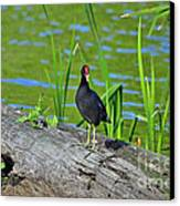 Mouthy Moorhen Canvas Print