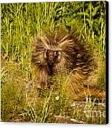 Mr. Porcupine Canvas Print by Chris Heitstuman