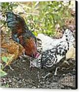 Mr. Rooster And All The Chickens Scratching For A Snack Canvas Print by Artist and Photographer Laura Wrede