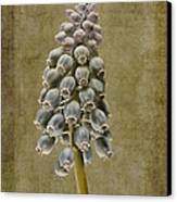 Muscari Armeniacum With Textures Canvas Print by John Edwards