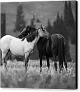 Mustangs Grooming 1 Bw Canvas Print