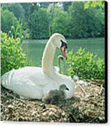 Mute Swan Parent And Chicks On Nest Canvas Print by Konrad Wothe