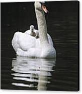 Mute Swan With Chicks On Back Canvas Print