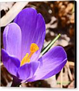 My First Bloom Of 2013 Canvas Print