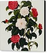 Myrtle Leaved Camellia Canvas Print