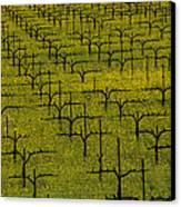 Napa Mustard Grass Canvas Print by Garry Gay