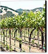 Napa Vineyard Grapes Canvas Print by Shane Kelly