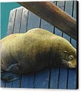 Napping Sea Lion Canvas Print