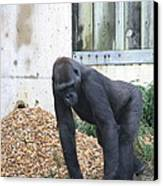 National Zoo - Gorilla - 121242 Canvas Print by DC Photographer