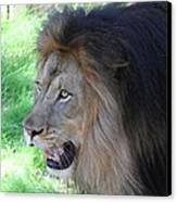 National Zoo - Lion - 011312 Canvas Print by DC Photographer