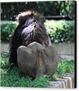 National Zoo - Lion - 011314 Canvas Print