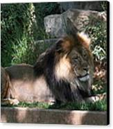 National Zoo - Lion - 011317 Canvas Print by DC Photographer