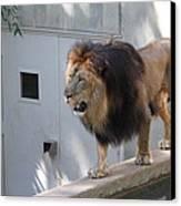 National Zoo - Lion - 01138 Canvas Print
