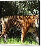 National Zoo - Tiger - 01138 Canvas Print